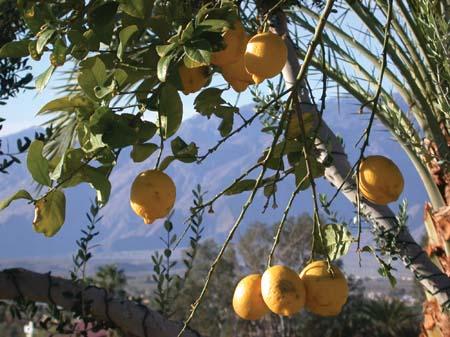 A Lemon Tree in California